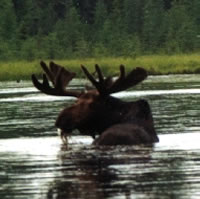 Canadian Bull Moose