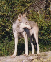 Timber Wolf, Lake Superior, Ontario