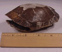 Map turtle shell found my Mary Powell